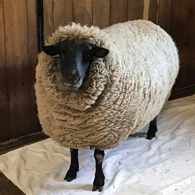 羊の毛刈り(動画)