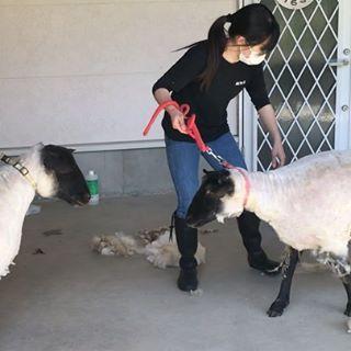 羊の毛刈り (1)
